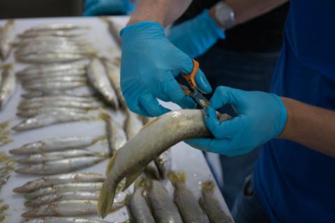 Kalan evästä leikataan saksilla pala.