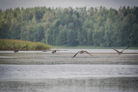 Lintuja lentämässä järven yllä.