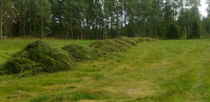 Niitetyt kaislat kasoina pellolla